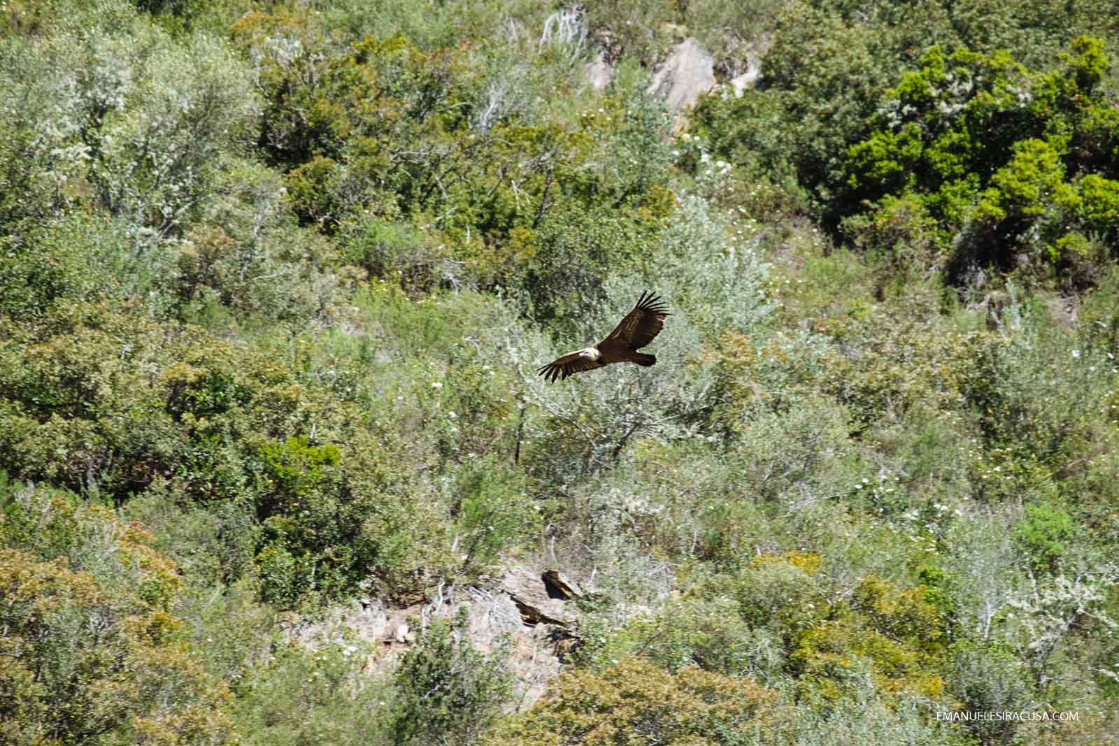 A vulture flies in the proximity of Malpica do Tejo, in the Tejo Internacional Natural Park, close to the Spain border, Malpica do Tejo, 2016